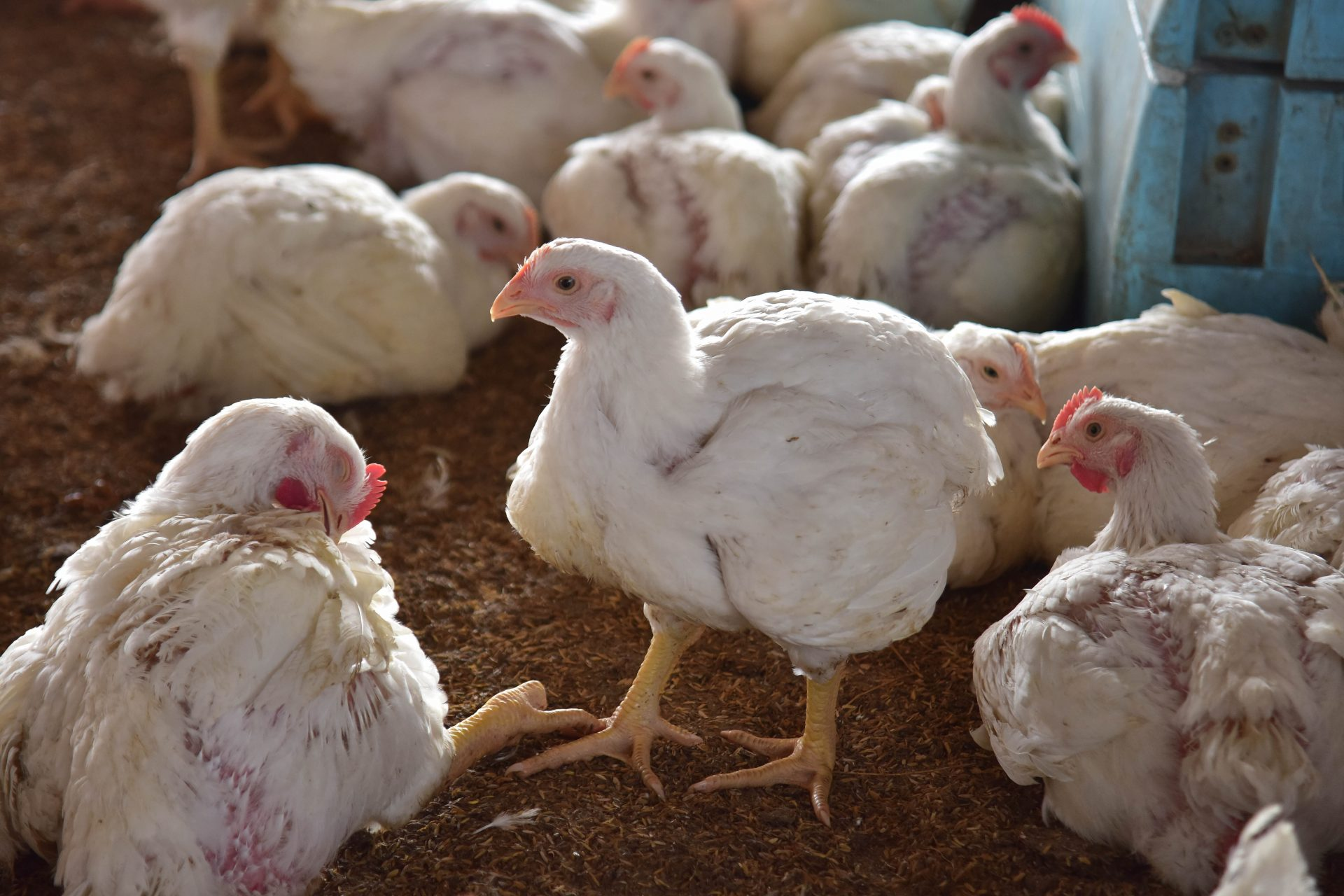 One case of bird flu (H10N3) discovered: Risk of a new pandemic?