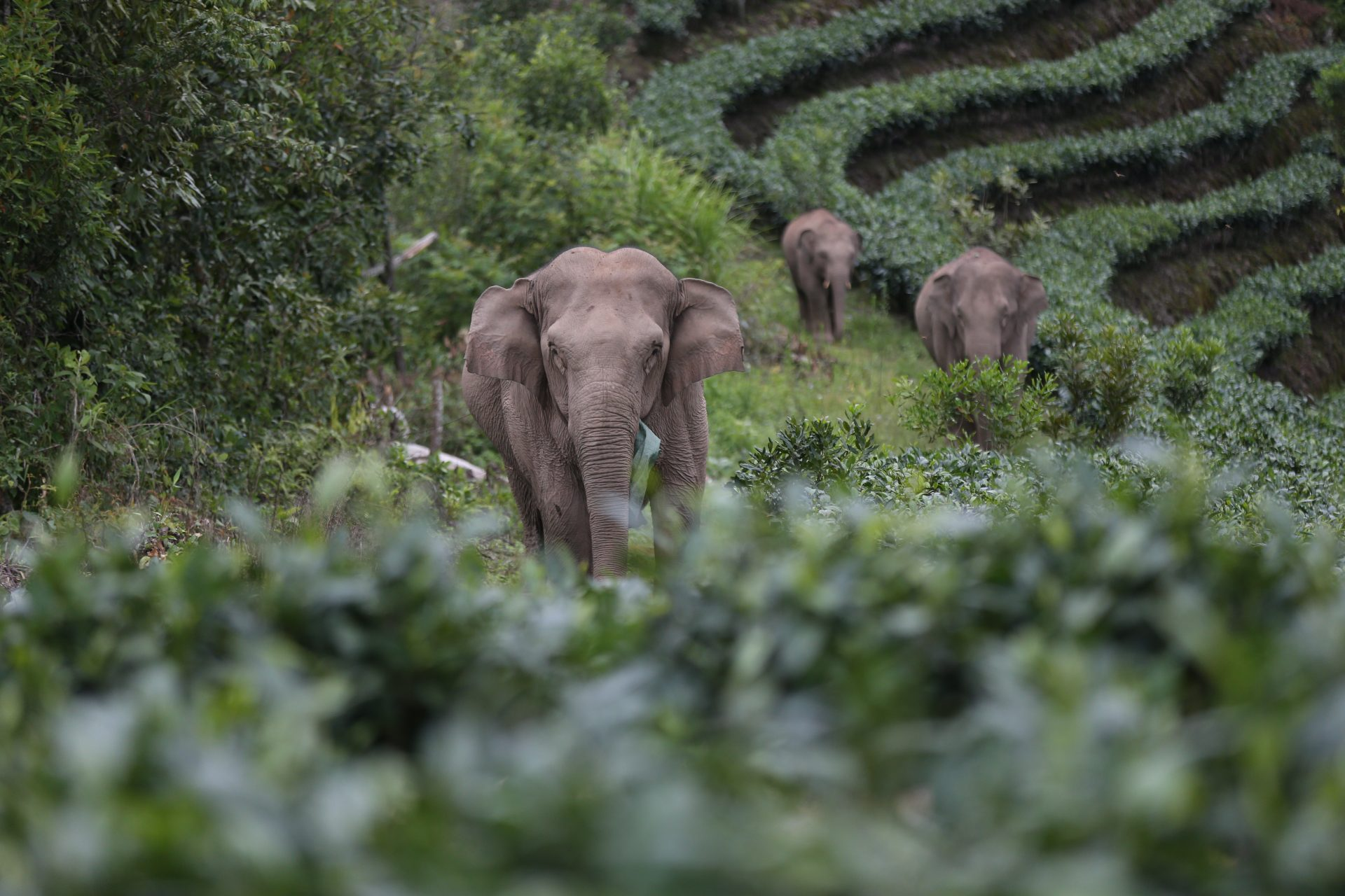 They're heading home: 15 elephants and their mysterious, televised journey across China